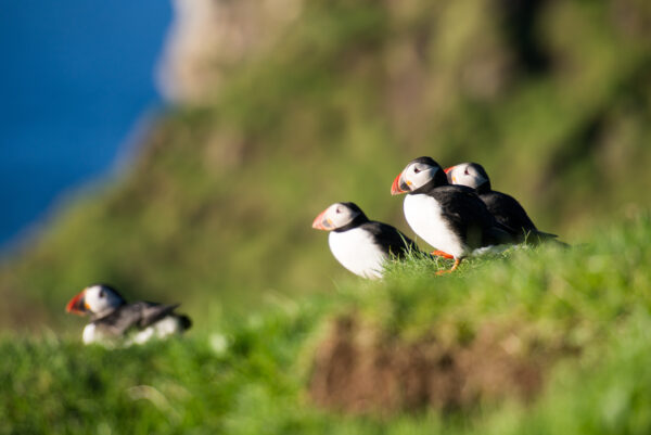 Atlantic puffins, Fratercula arctica sitting on a cliff on the Faroe Islands with ocean in the background