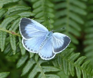 Holly Blue c. Dave Green