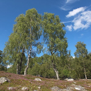 Birch trees at Trees for Life's Dundreggan Conservation Estate