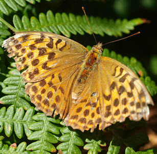 Silver washed fritillary c. John Newbould & National Trust