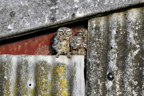 10-little-owls