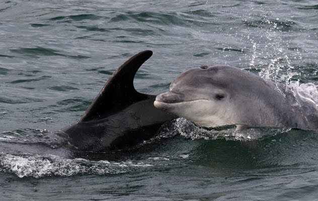 Bottlenose dolphins – photo by Peter Evans/Sea Watch Foundation