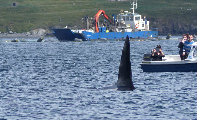 Killer whale (off Shetland) – photo by Rhona Clarke
