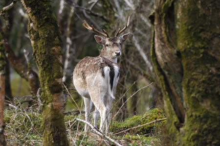 Fallow deer in woods. Credit Laurie Campbell