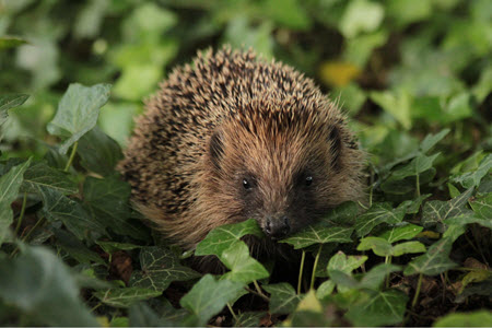 Hedgehog in leaves. c.BHPS