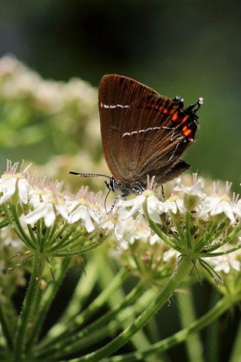 White-letter Hairstreak butterfly, Kelso, Scottish borders c. Iain Cowe