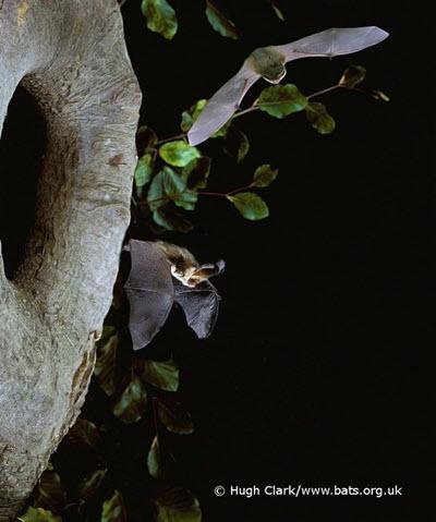 (c) Hugh Clark www.bats.org.uk