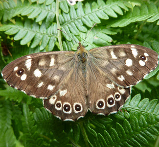 Speckled Wood - c. Butterfly Conservation & Stuart Graham - W Argyll