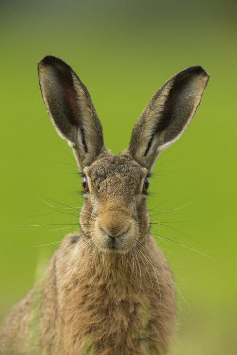 Brown hare. Credit Jamie Hall