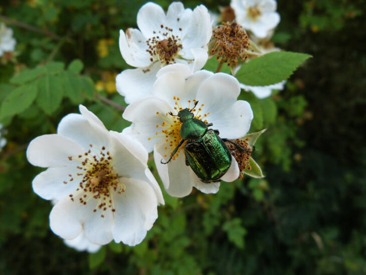 Gnorimus nobilis (noble chafer) New Forest. Credit Bryan Pinchen