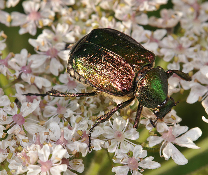 Noble Chafer. Credit Paul Brock